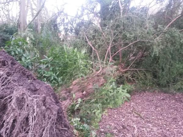 Venijnboom (#31) omgevallen
