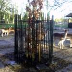 113 - Quercus robur 'Fastigiata Koster' - Smal opgaande Eik