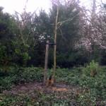 37 - Gymnocladus dioicus - Doodsbeenderenboom
