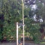 Fraxinus excelsior 'Diversifolia' - Eenbladige Es