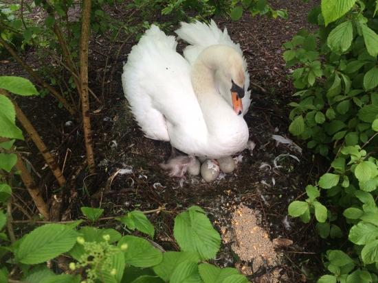 Moederzwaan op nest met eieren en kuikens