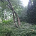 #151 - Sleedoorn, Prunus spinosa