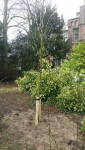 Fraxinus ornus 'Obelisk'