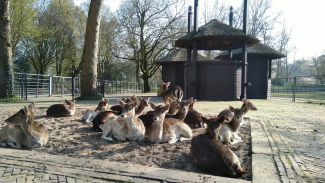 Herten wachten op gras en … een nieuwe bok