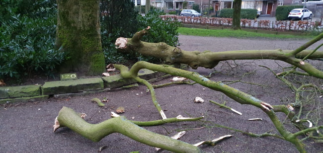 Negentigjarige esdoorn verloren door storm